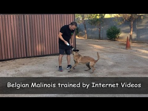 Belgian Malinois (Roxy) trained using our Online Videos!