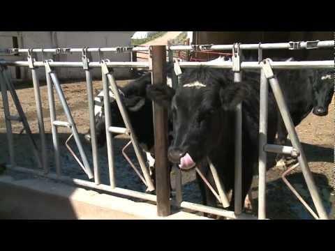 Fox59: Antibiotic Concerns in Cows