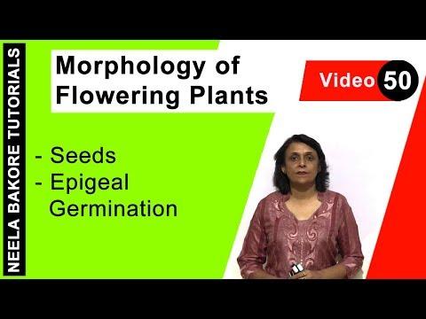 Morphology of Flowering Plants  - Seeds - Epigeal Germination