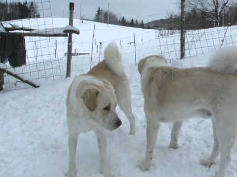 Livestock Guard Dogs; play fighting gets serious - Old Man Farm