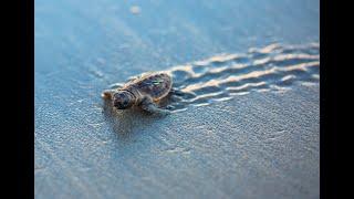Baby Sea Turtles Hatching at the Beach in Jupiter Florida