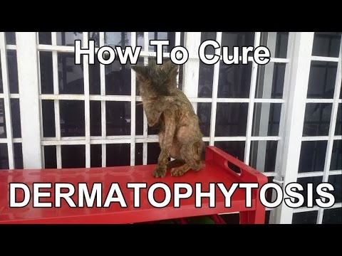 HOW TO CURE DERMATOPHYTOSIS - Ringworm (cat)