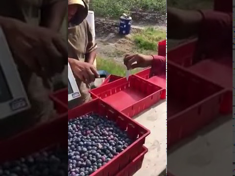 Blueberry Harvest with DataTrack with scale