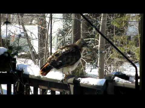 Our Neighborhood Red-Tailed Hawk on the Hunt,  3 parts