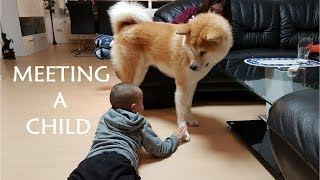 Akita Inu - Meeting a Child (秋田犬)