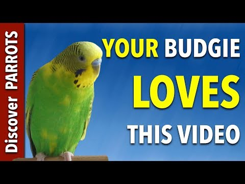 Your Budgie LOVES this Video | Discover PARROTS