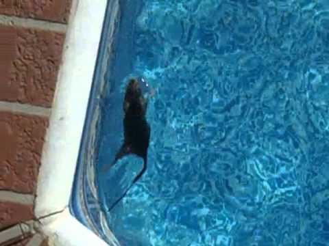 Rat in the pool