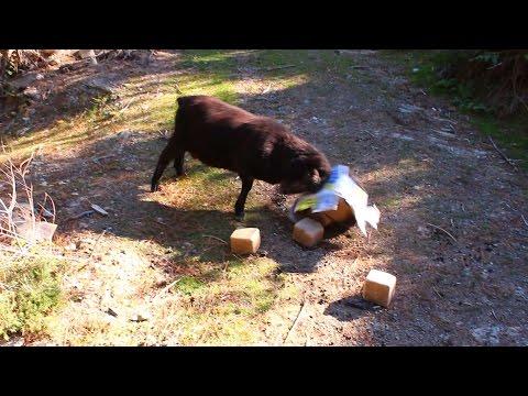 Angry Ram assaults a salt block