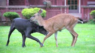 Dog And Deer - Playtime. (kate And Pippin)