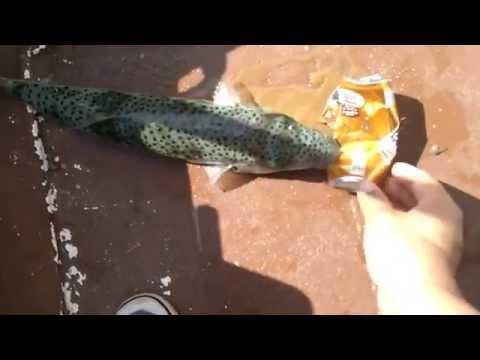 Balloon fish biting aluminum can