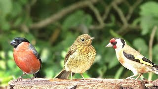 Video for Cats to Watch : Birds of Many Colours