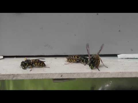 Wasps v 50 Hz speaker at the 5:12 mark