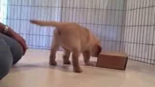 Labrador Retriever Puppy Temperament Test