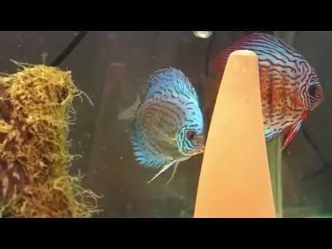 Discus fish preparing to lay eggs