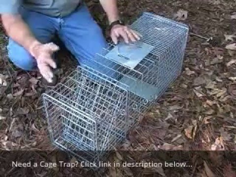 How to Set & Use a Cage Trap for Raccoon, Opossum, Feral Cat