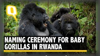 Deep In Rwanda's Rainforest, Gorillas Have a Naming Ceremony | The Quint