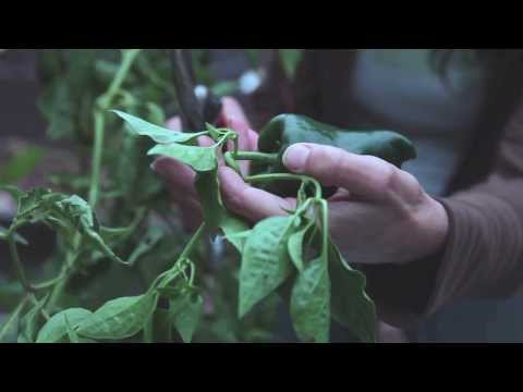 How to Harvest and Store Peppers