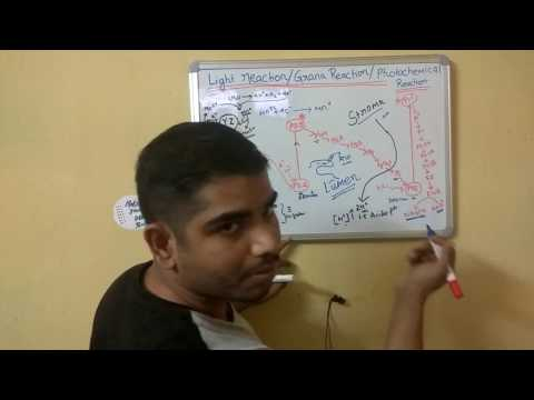 Light Reaction - photosynthesis Lecture in Hindi part - II(cyclic & Non Cyclic photophosphorylation)