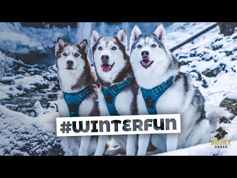 Huskies Playing in a Magical Snowy Forest