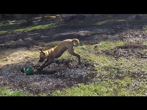 Black Mouth Cur GOES BONKERS & Attempting Outside Cleanup