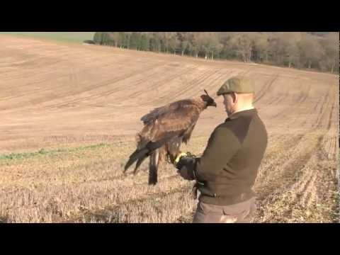 Hunting hares with a golden eagle