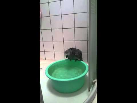 african grey parrot bathing playing with bowl