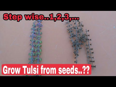 How to grow tulsi from seeds - step wise 1,2,3... , how to grow tulsi, Grow holy basil from seeds