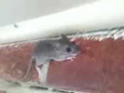 mouse climbing wall