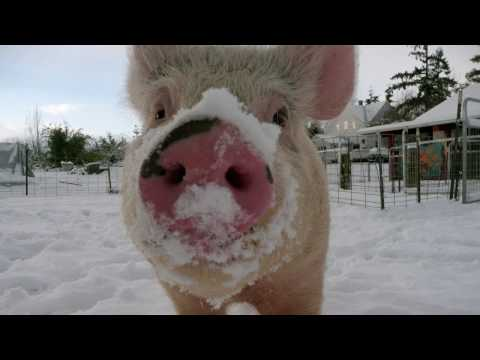 Snow falls at Pigs Peace Sanctuary