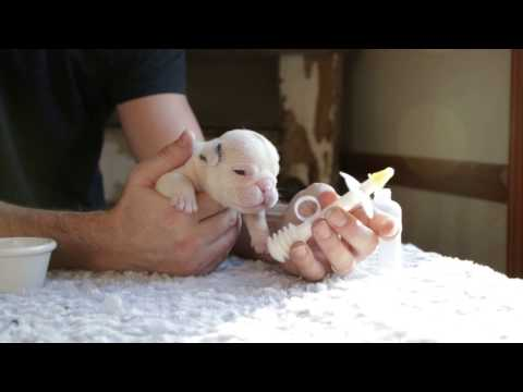 How to Bottle Feed a Newborn Bulldog Puppy