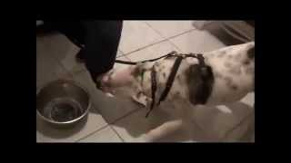 Extremely Food Aggressive American Bulldog Attacks Trainers.