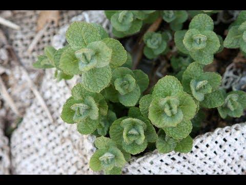 Mint Varieties - Growing, Managing, Usage