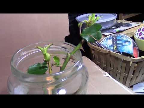 Can Roses grow in sugar or salt