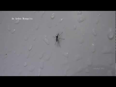 Aedes mosquito (Dengue hemorrhagic fever)