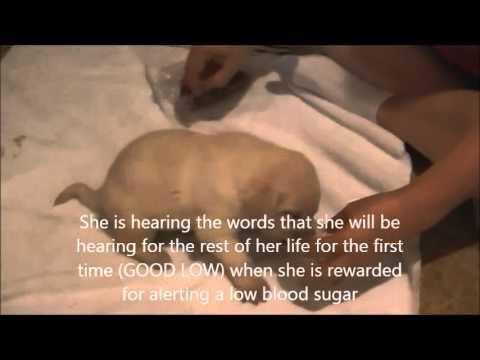 Dreys Alert Dogs (www.dreysalertdogs.com)