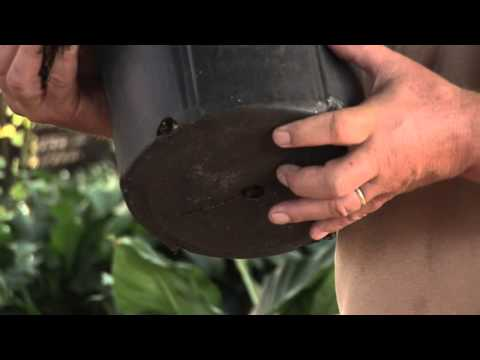 How to Plant Tomatoes in the Bottom of a Bucket