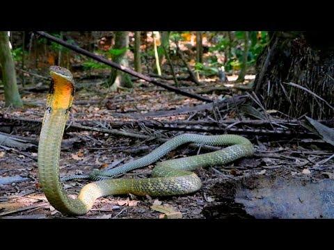 Die GRÖßTE Giftschlange der Welt | Die Königskobra | Reptilien und Amphibien Folge 14