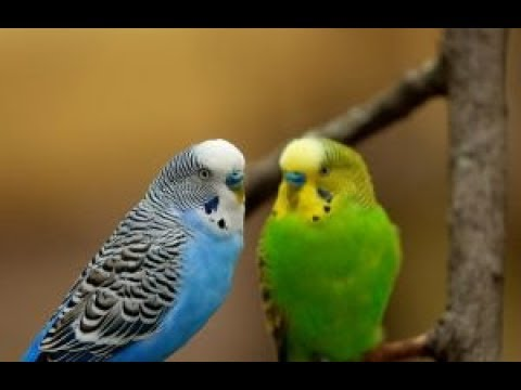 How to keep your birds healthy| 6 simple ways to keep your budgies healthy