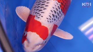 Download These Are The Best 17 Koi Fish In Their Variety Class | Sakura winners Video