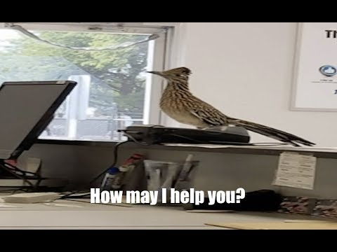 Wildlife acting even MORE strange - Roadrunner goes inside business and jumps up on counter!
