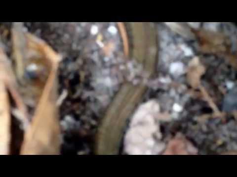 Glass Snake: Island Glass Lizard (Ophisaurus compressus)