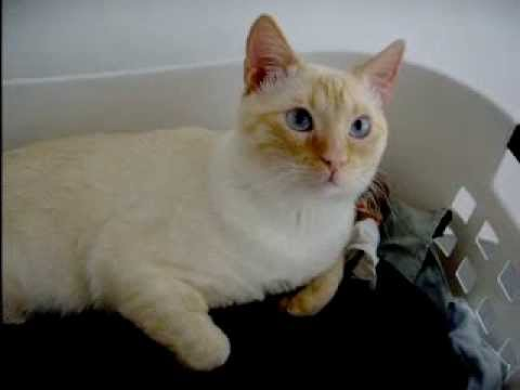 A Flame Point Siamese Cat