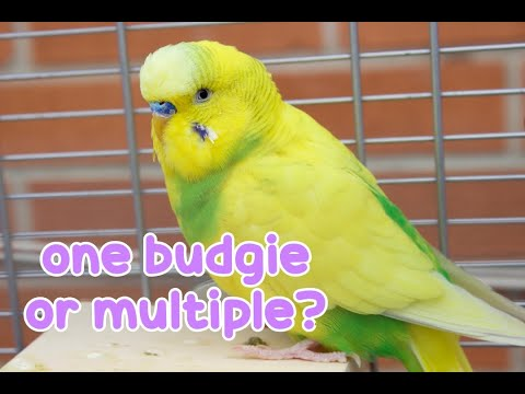 One Budgie or Multiple? | Advantages & Disadvantages