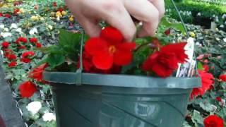 How to grow MASSIVE Begonia Flowers! [Greenhouse Secret]