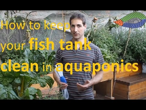 How to keep your fish tank clean in an aquaponics system!