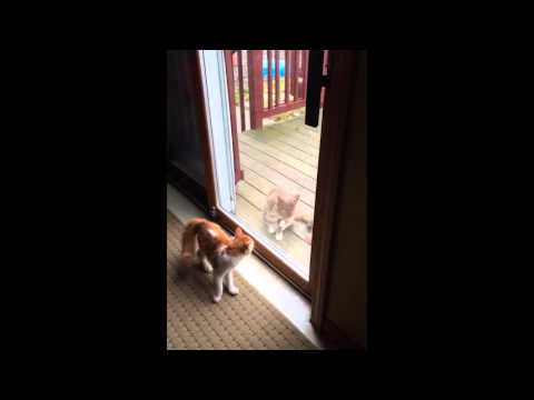 Indoor Cat Just Wants To Be Let Out