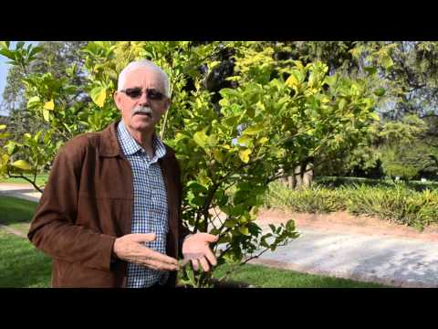 How to control citrus gall wasp