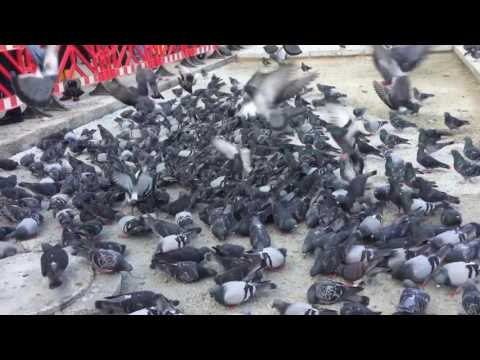 Istanbul pigeons thousands of birds waiting for you to feed them
