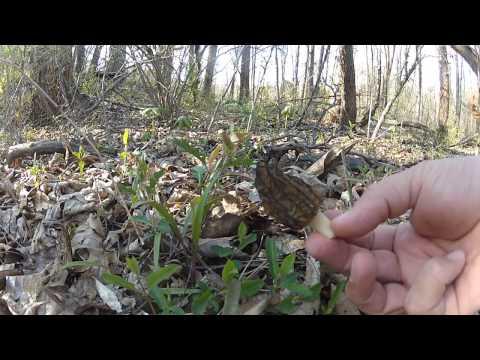 Hunting Black Morel Mushrooms