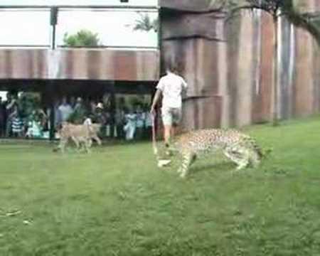 Claire Madden at old Cheetah Job Australia Zoo